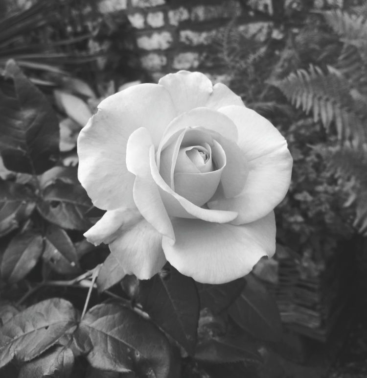 Mothers rose