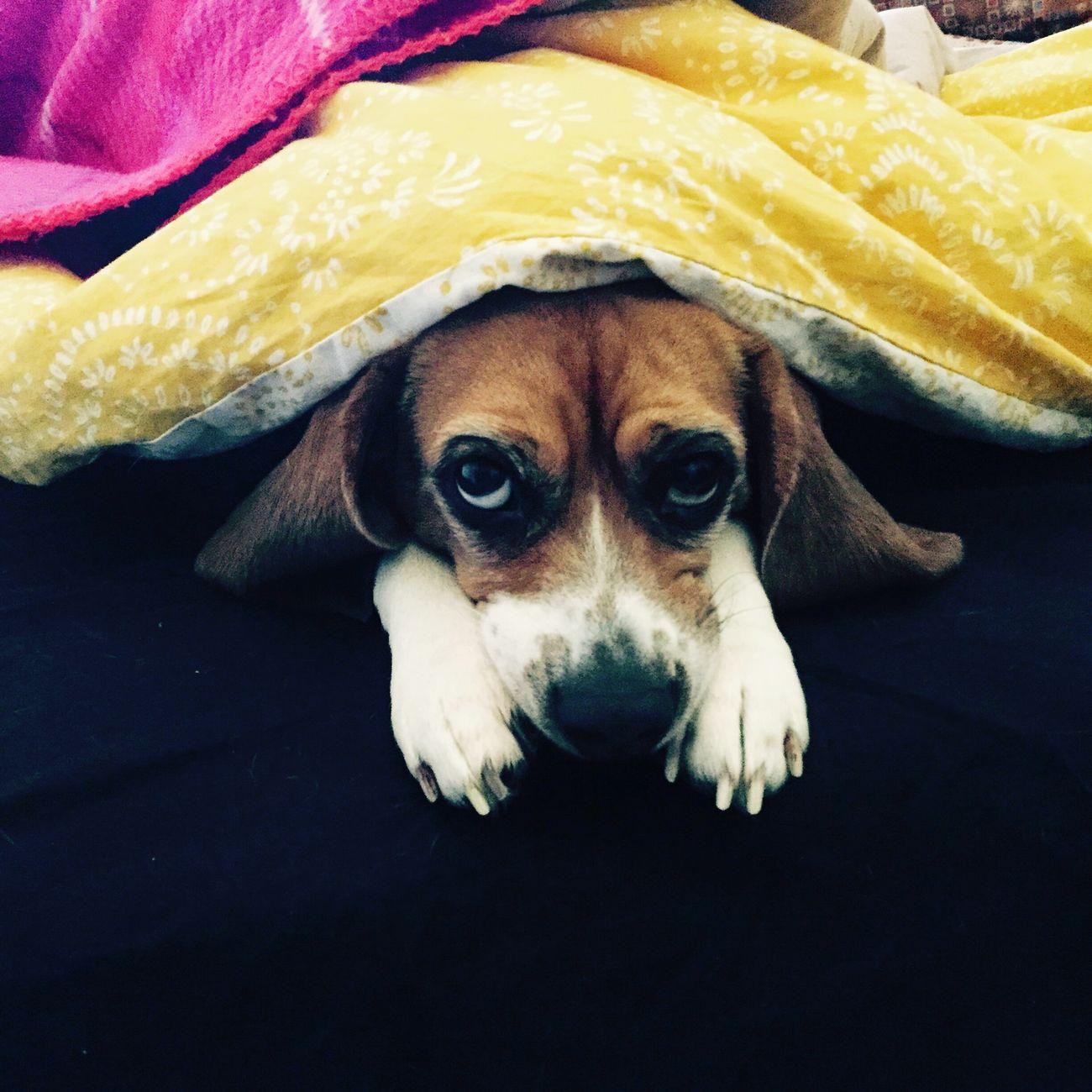 Alessiolazzeri Beagle Beagleliberi Beaglelife Beaglelove Pollyparmigiana