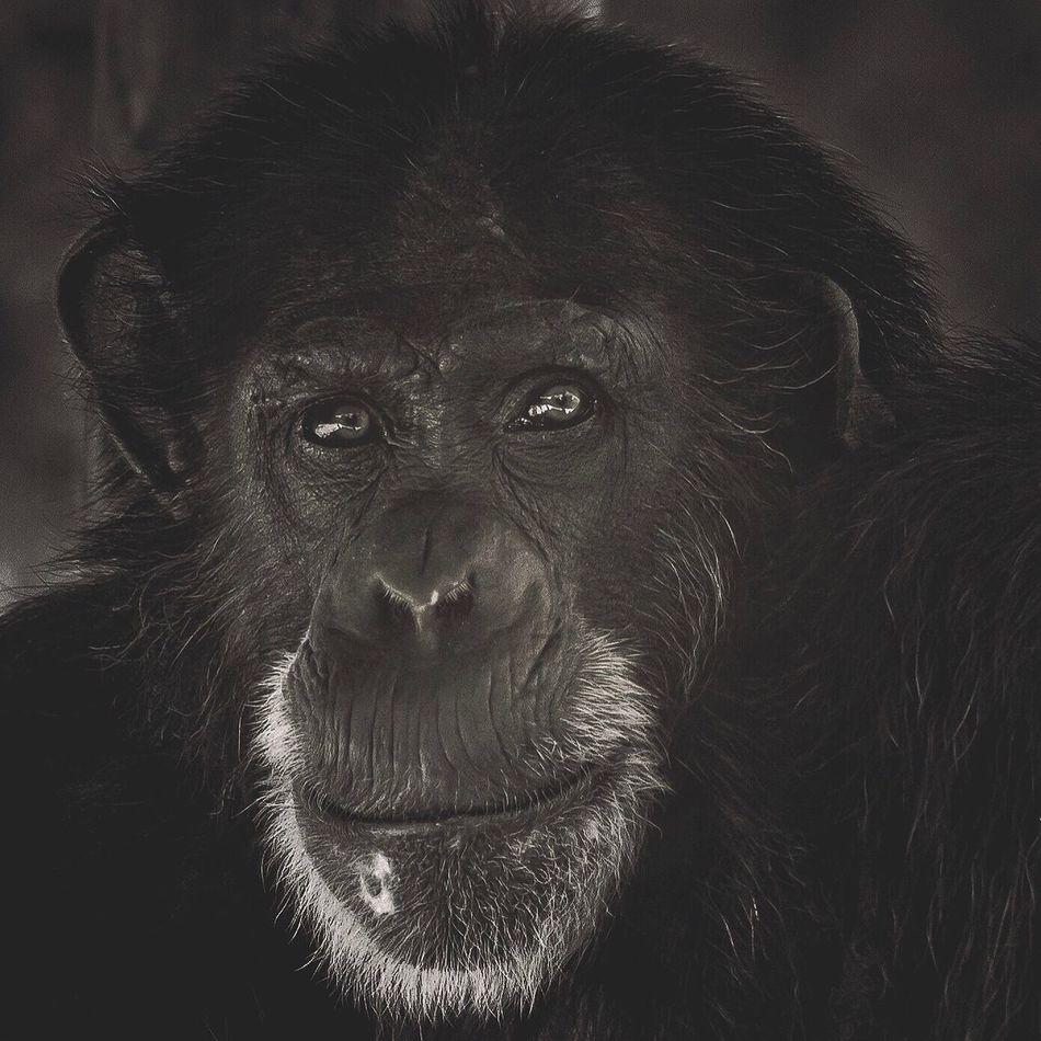 One Animal Animal Themes Portrait Animals In The Wild No People Animal Wildlife Close-up Primate Nature Mammal Chimpanzee Day Outdoors Orangutan
