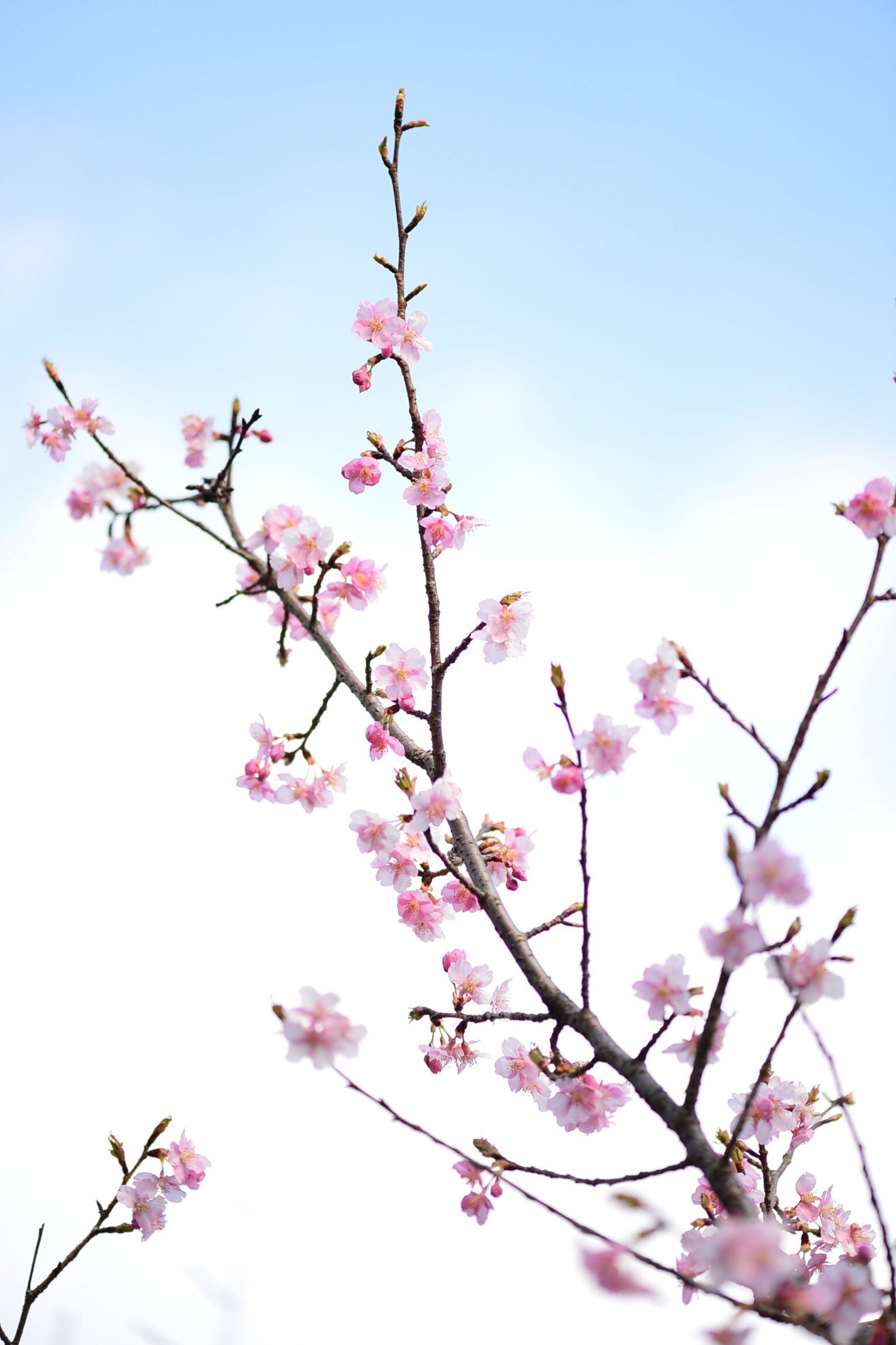 growth, nature, tree, flower, low angle view, pink color, springtime, beauty in nature, freshness, fragility, clear sky, branch, blossom, sky, no people, outdoors, cherry tree, day, cherry blossom, close-up, plum blossom