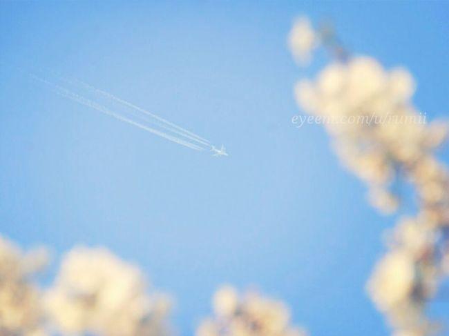 Sakura Contrails Skyporn Sky_collection 今更ながら桜祭りの始まりはじまりーヾ(o´∀`o)ノ