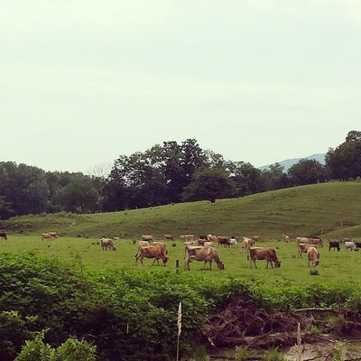 """I love the fact that these cows live in """"town."""" Cambridge Vermont Ignewengland Instagood igvermont moo"""