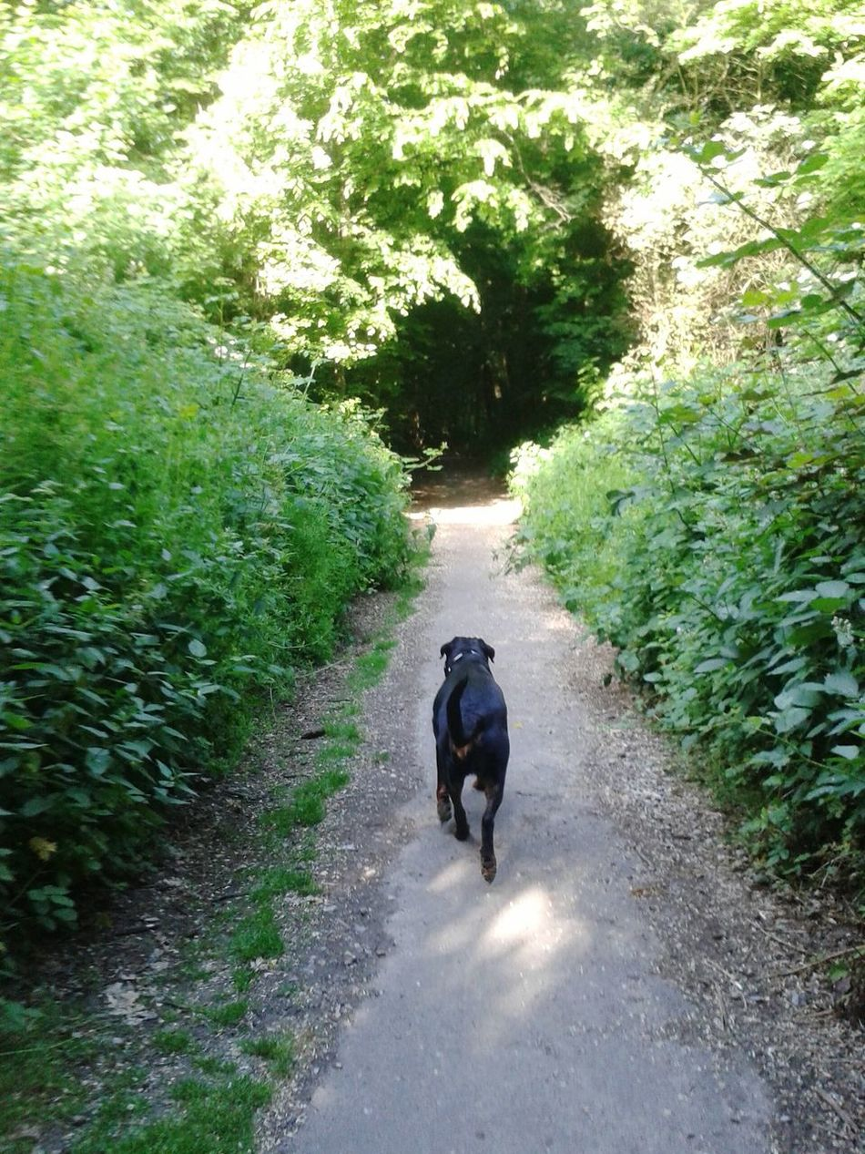 Beautiful stock photos of rottweiler, Animal Themes, Day, Domestic Animals, Footpath