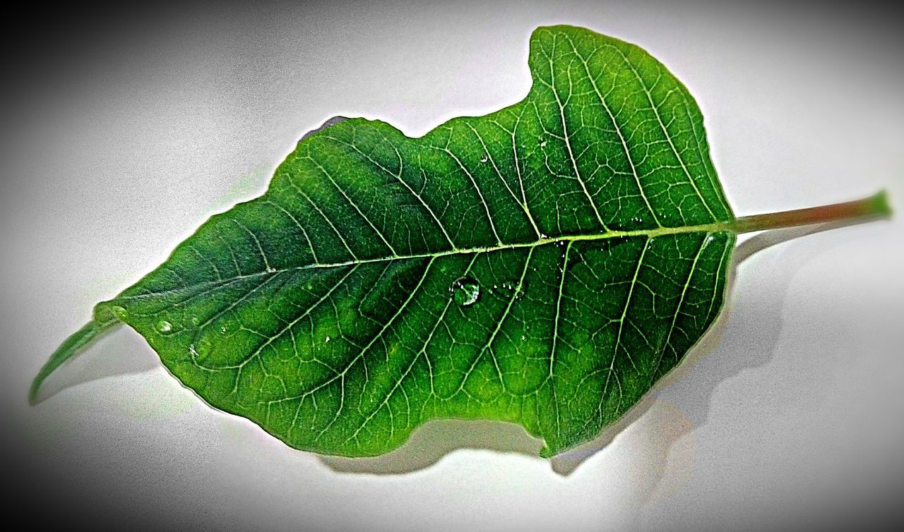 leaf, close-up, green color, nature, growth, fragility, no people, day, white background, freshness, outdoors, beauty in nature