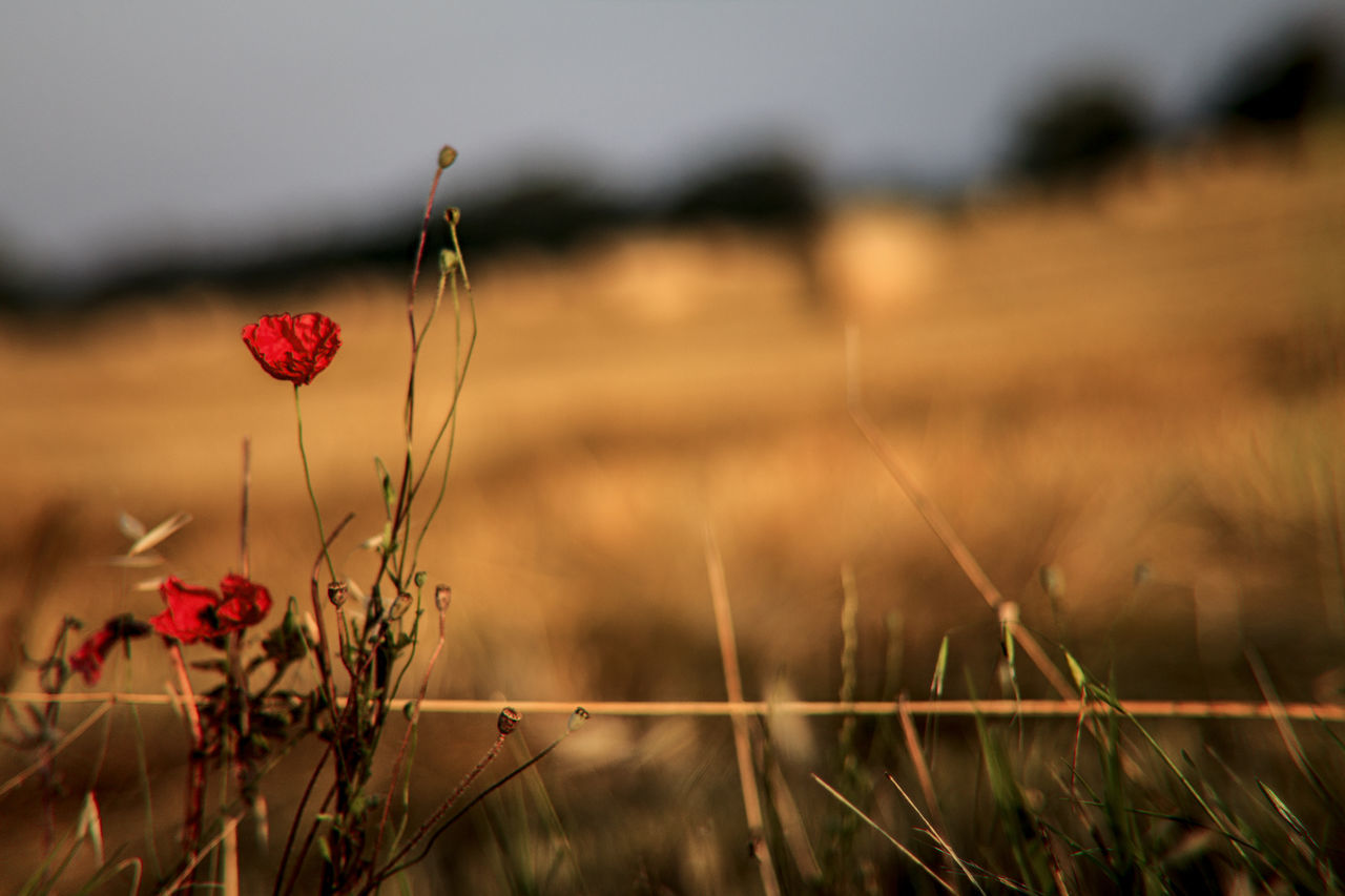 Beauty In Nature Close-up Day Field Flower Flower Head Focus On Foreground Fragility Freshness Grass Growth Landscape Nature No People Outdoors Plant Poppy Red Sky