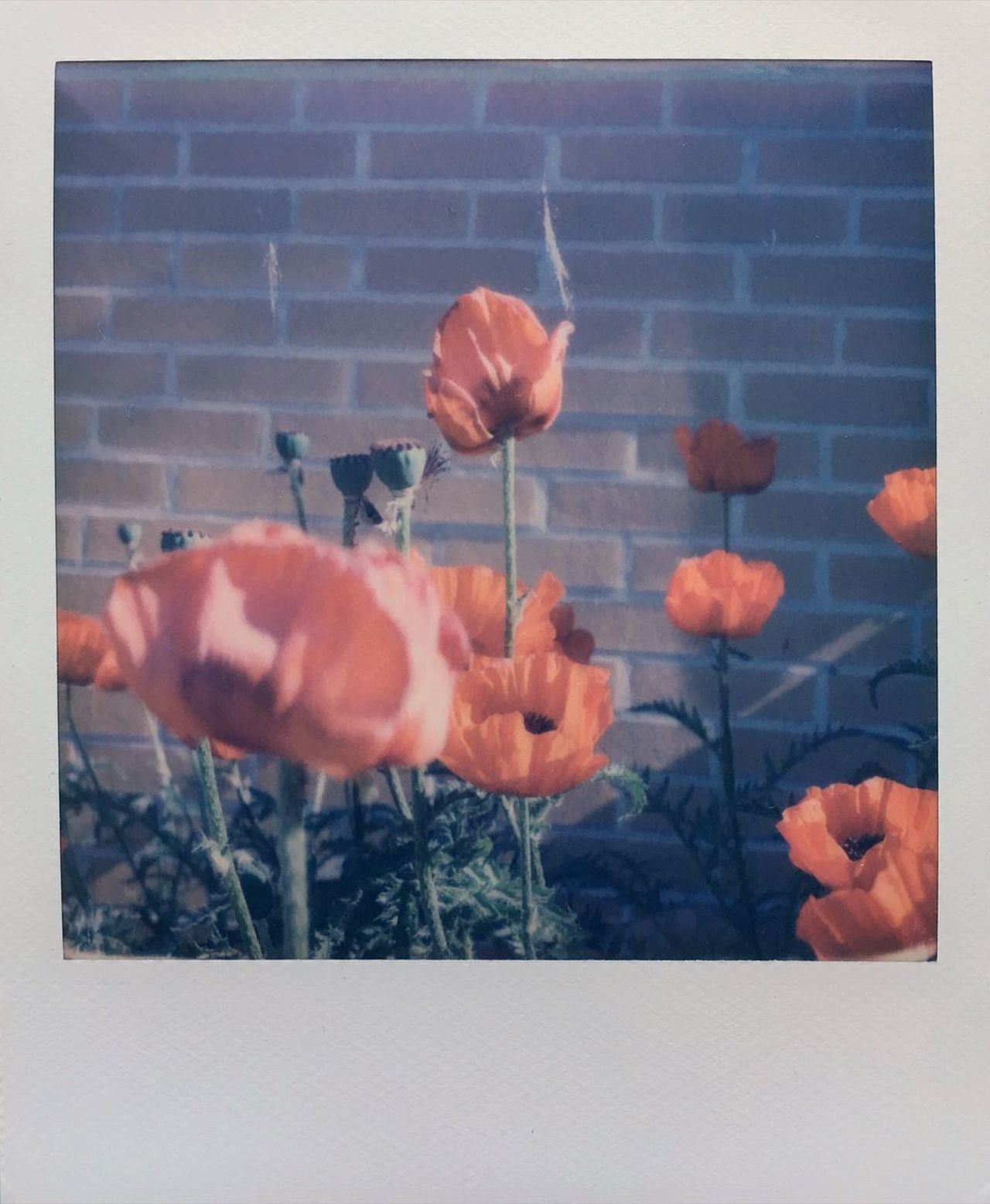 Beauty In Nature Close-up Polaroid Impossible Project Instantphoto Analogue Photography Buyfilmnotmegapixels Poppy Poppy Flowers The World Needs More Red Close Up Nature Sunlight Summer
