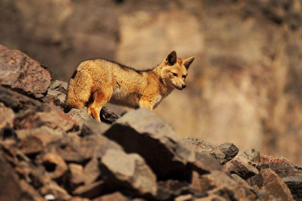 Cajon Del Maipo Embalse Del Yeso Animal Themes Chile Zorro