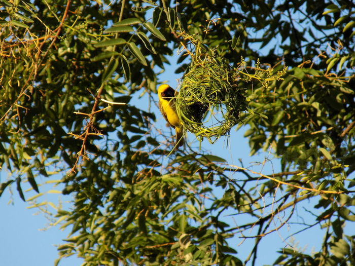 A male southern masked weaver (ploceus velatus) building his nest I Like Birds South African Bird Southern Masked Weaver Bird Animal Themes Animal Wildlife Animals In The Wild Beauty In Nature Bird Birds Branch Close-up Day Growth Leaf Low Angle View Nature No People One Animal Outdoors Perching Sky Springtime Tree