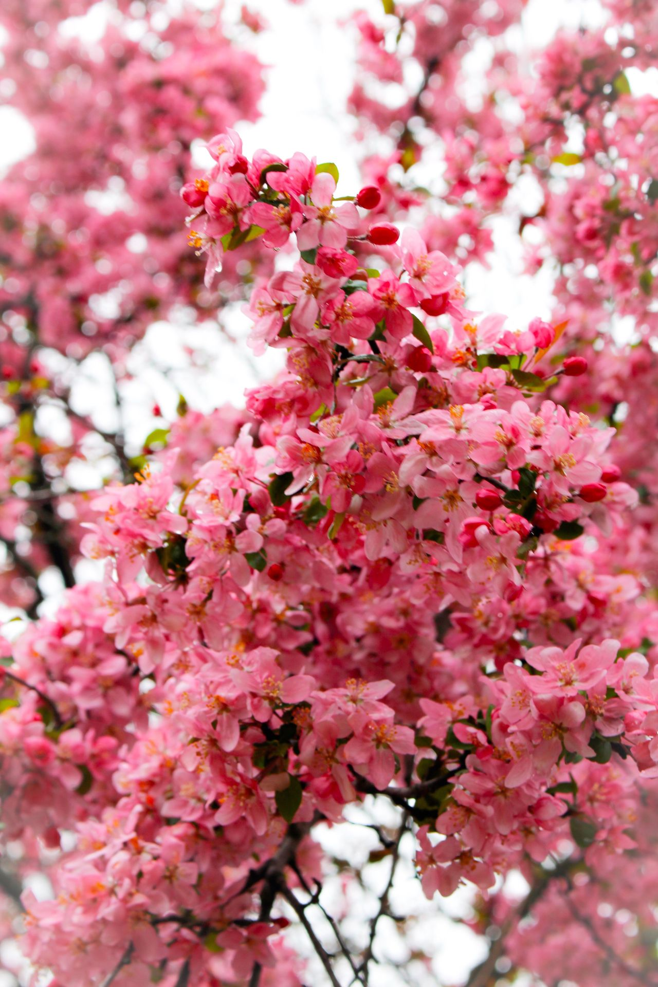 Pink Color Pinktree Spring Rainy Day Freshness Beauty In Nature Springtime Fragility Nature Growth Close-up Low Angle View Flowerporn Flower Collection Flower Photography TreePorn Treelovers Treescollection Tree Branches Treetastic