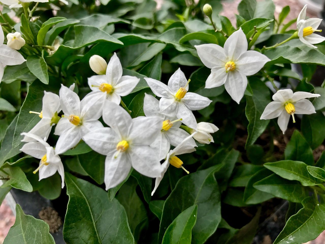 Flower Growth Leaf Petal Nature Plant Blooming Freshness Beauty In Nature Fragility No People Flower Head Outdoors Close-up Day Jasmine Jasmine Flower