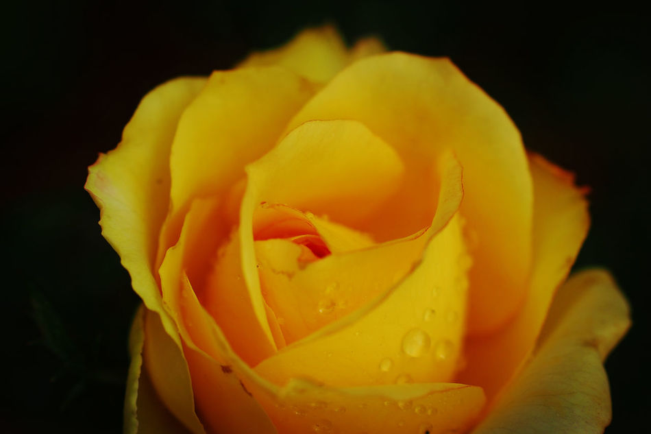 Yellow Close-up Flower Freshness Fragility Flower Head No People Macro Photography Macro Beauty In Nature Rose🌹 Rose Garden Showcase March 2017 Drizzling Day