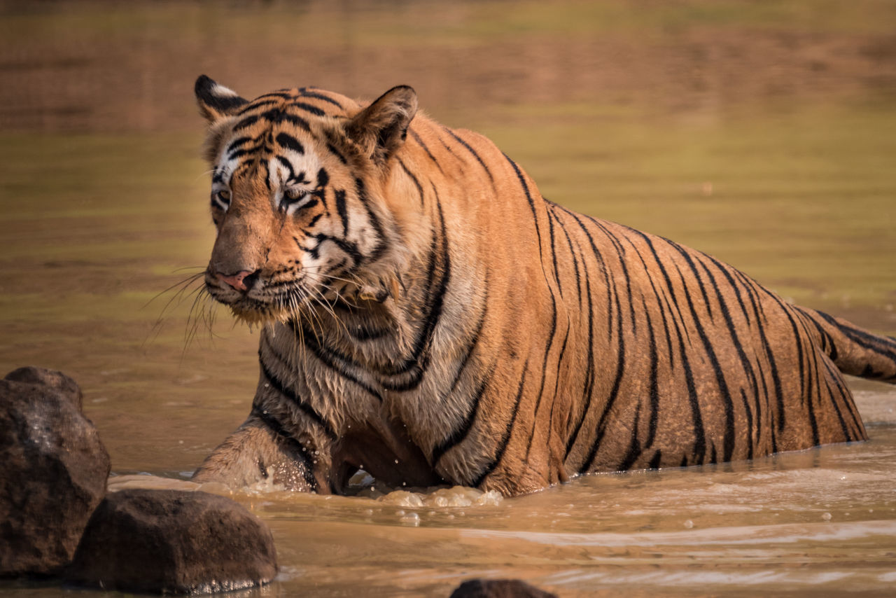 Tiger In Shallow Water