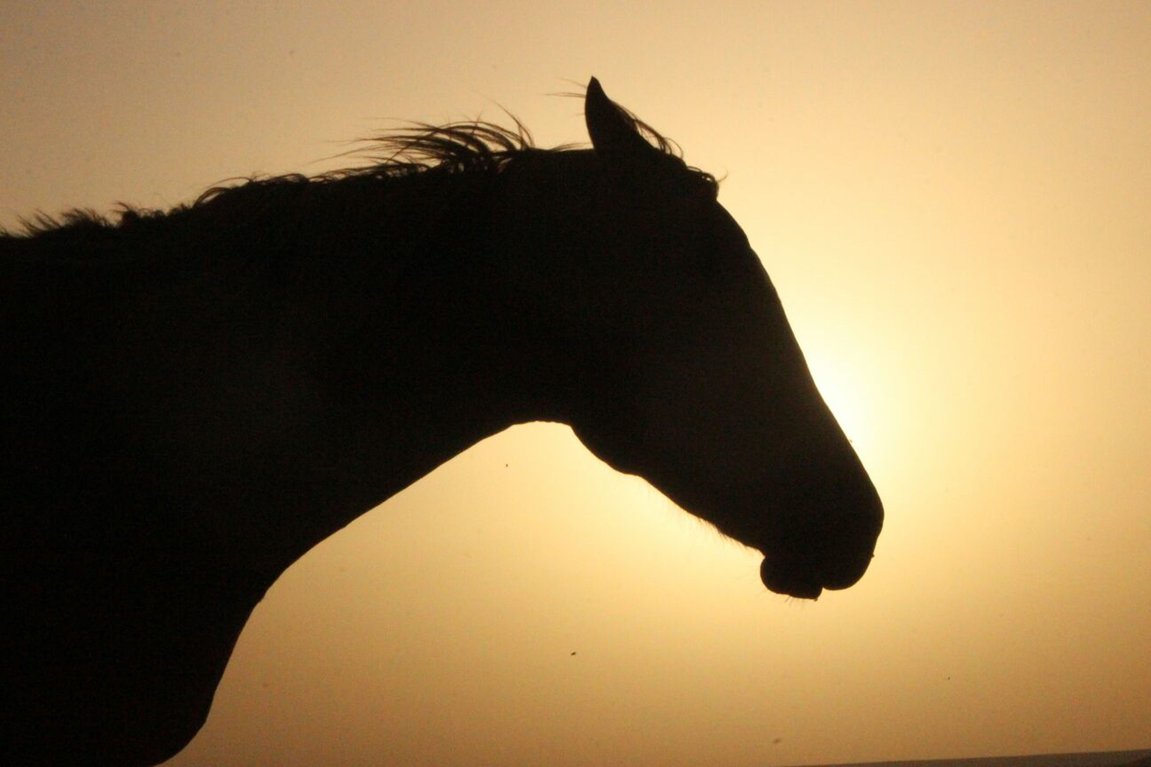 sunset, animal themes, one animal, silhouette, domestic animals, clear sky, mammal, orange color, one person, horse, nature, sky, wildlife, sun, side view, animals in the wild, pets, beauty in nature, bird, standing