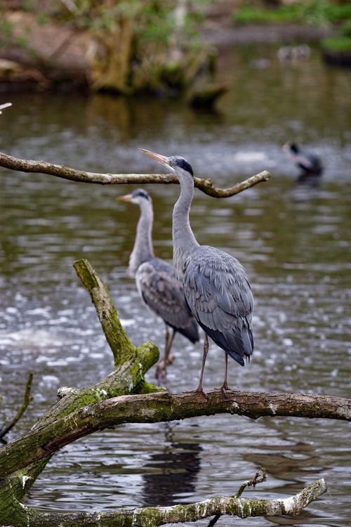 Heron Opportunity Spring 2016 Birds_collection A Walk In The Park 135mmf2l