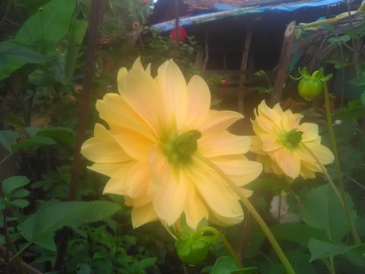 flower, petal, fragility, plant, freshness, growth, flower head, beauty in nature, nature, yellow, no people, blooming, day, close-up, outdoors