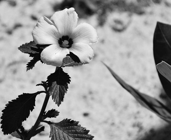 Flowers Flower Flowerporn Flower Collection Nature Nature_collection Blackandwhite Black And White Black & White Black&white