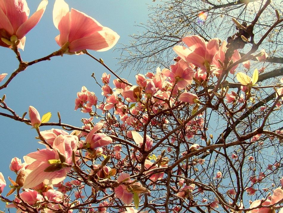 Beautiful stock photos of magnolia, Abundance, Backgrounds, Beauty In Nature, Blossom