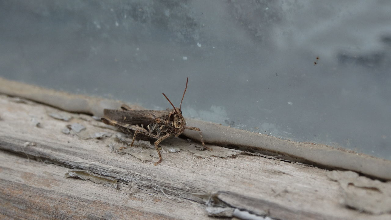 A grasshopper. Close-up Day Glass Grasshopper Insect Insect Photography Insect_perfection Motionless Nature No People Not Moving One Insect Outdoors Standing Still Surface Wood Surface