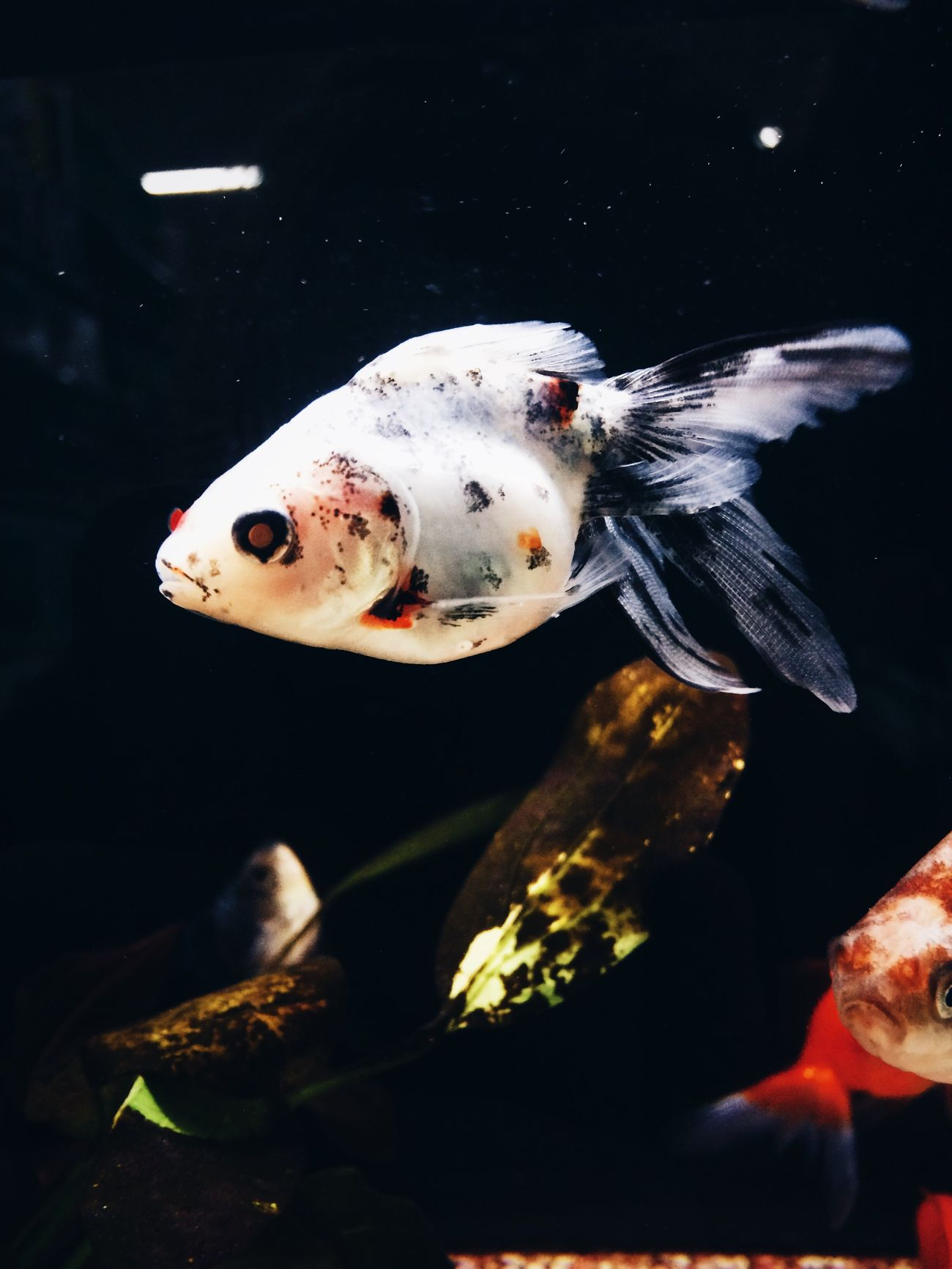 Animal Themes Swimming Fish Water Underwater Animals In Captivity Aquarium Close-up Walmart