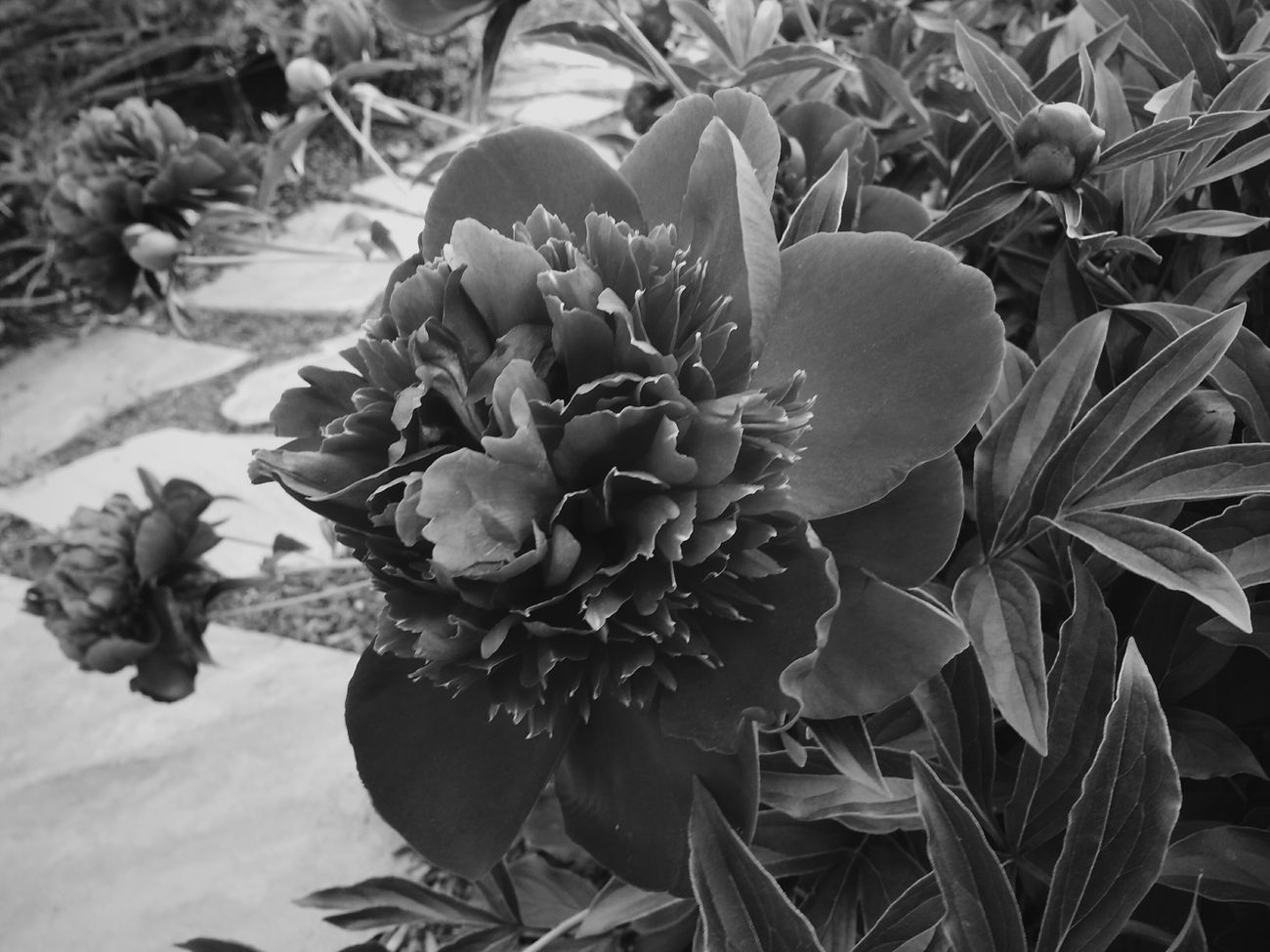 Morning bloom. Love the feel of nature on a gorgeous day. Vscocam Blackandwhite DroidEdit_BW Nature