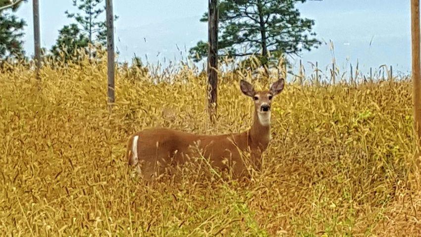 Nature Natural Beauty Majestic Nature Okanagan Valley Kelowna Wildlife Deer Whitetail Deer Doe