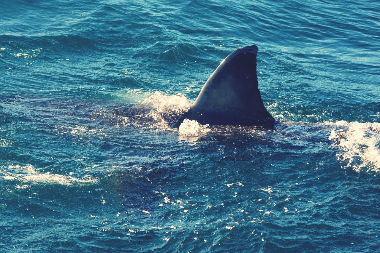 Beautiful stock photos of shark, Animal Themes, Animals In The Wild, Day, Great White Shark