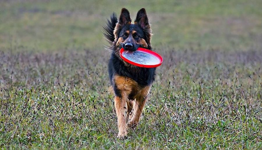 """The only care in the world is """"where is the frisbee"""" Dog Pets One Animal Animal Themes Gsd Love ❤️ Gsd Sable GSD German Shepherd Dog Gsd Mama GSD Cottage Garden Gsd And Snow Gsd Mix"""