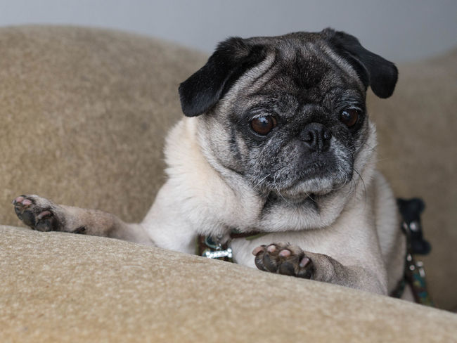 Haustier Animal Themes Close-up Day Dog Domestic Animals Focus On Foreground Indoors  Mammal Mops No People One Animal Pets Portrait Pug Sitting