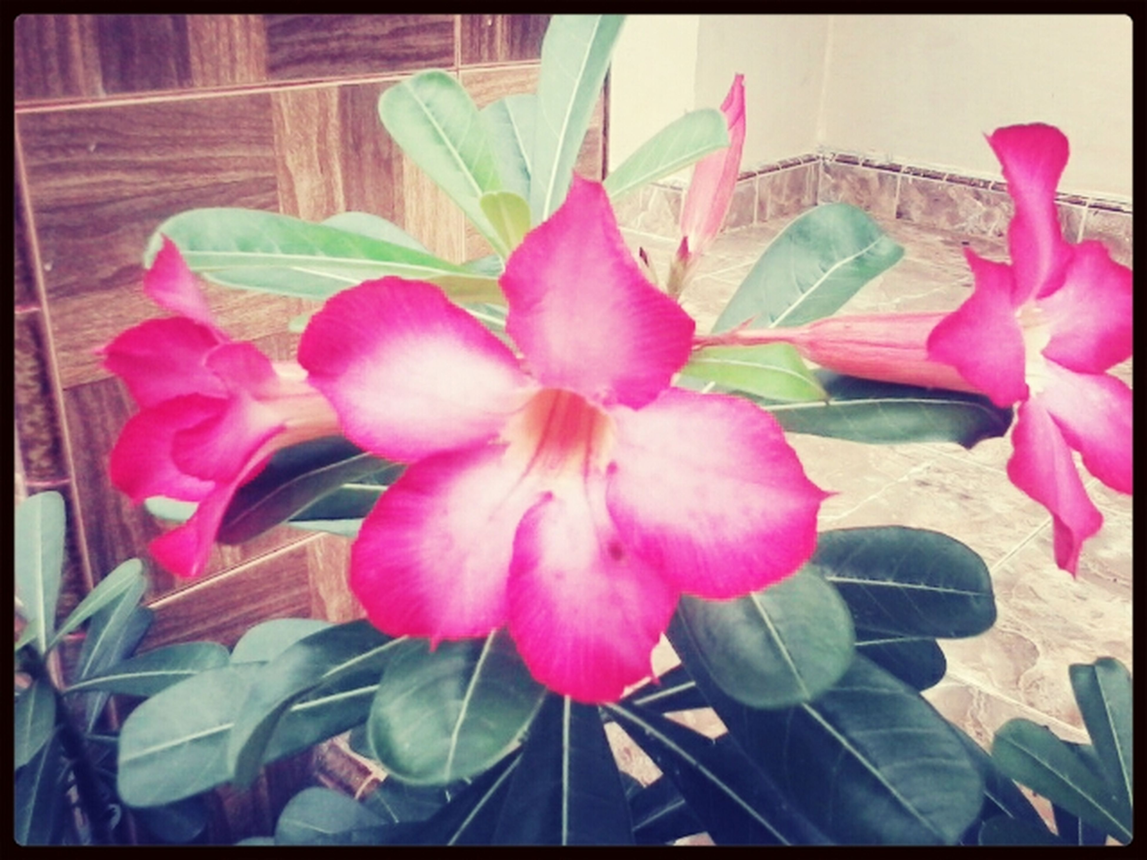 flower, transfer print, petal, fragility, leaf, freshness, indoors, auto post production filter, pink color, plant, growth, flower head, close-up, beauty in nature, nature, potted plant, blooming, no people, day, pink