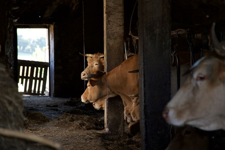Barn Cattle Cows Dark Europe Farming Livestock Moo Rural Rural Scene Traditional