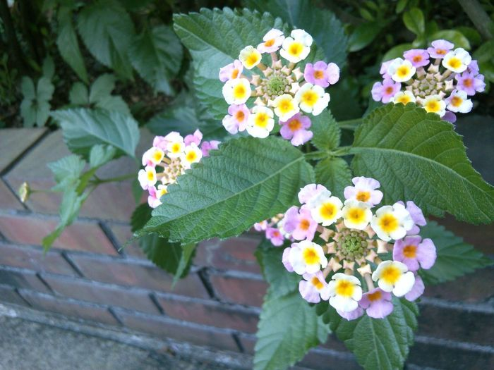 Hi! Flower Photography Summer Flowers Eye Em Best Shots - Flowers Beauty In Nature Pink Color Lantana Change Color