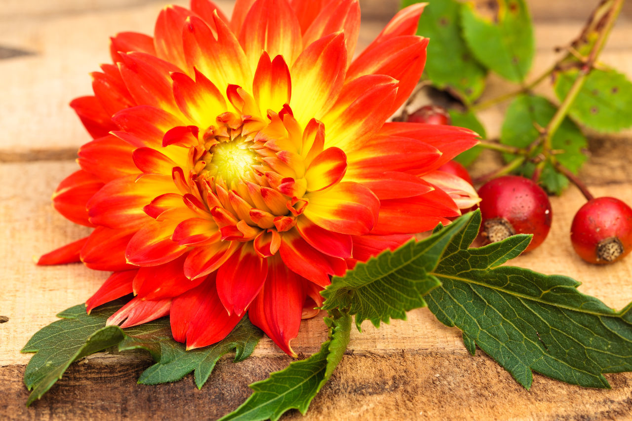 Beauty In Nature Blooming Close-up Dahlia Day Floral Arrangement Floral Photography Flower Flower Head Fragility Freshness Growth Leaf Nature No People Outdoors Petal Plant Red Rose Hips