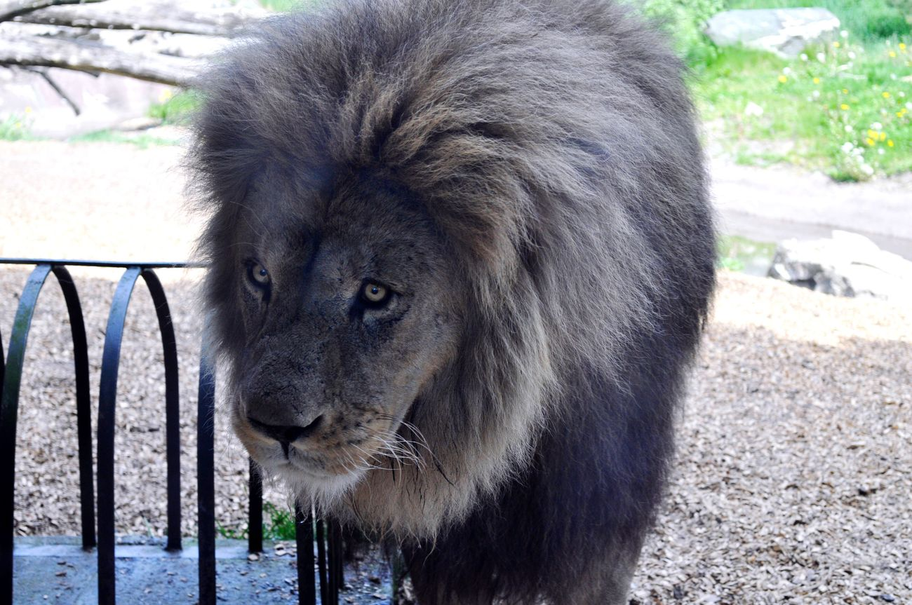 One Animal Animals In The Wild Animal Themes Mammal Lion Day Outdoors No People Portrait Nature Lion - Feline Close-up