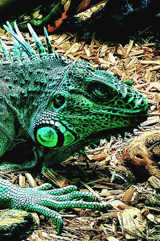 The Portland Aquarium, Feb 2016 Iguana Lizard Reptile Amphibian Scales Green Aquarium Animal Portland Aquarium Scaley Exotic Pets Zoo Animals  Zoo Zoophotography Note: I'm recently getting the hang of looking at the same pics on computer vs phone. For example, this one looked perfect on computer then i put it on phone to upload and it looks over-satutated as hell. I tried to find some sort of compromise (via edits) which was difficult and not ideal as every edit compromises the quality just a bit... So please, with this in mind, be gentle. Contrast Digital Saturated Effects Texture Pet Exotic Colorful Vinrant