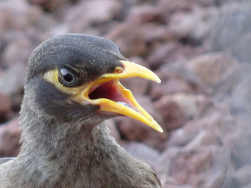 Common Mynah series (2) Acridotheres Tristis Indian Myna Birds EyeEm Birds
