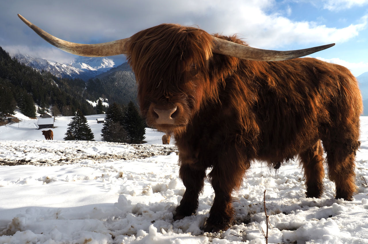 Looking for trouble, dude? Animal Themes Bos Taurus Bull Cattle Cloud - Sky Domestic Animals Highland Cattle Highlander Kyloe Liechtenstein Livestock Mammal Nature Nature No People Olympus OM-D E-M1 Mark II Outdoors Scottish Highland Cattle Silum Sky Snow Triesenberg Winter Looking For Trouble Dude