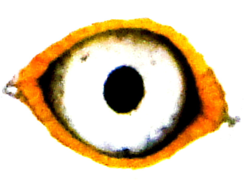 Close-up Detail Eye Gull Eye Yellow