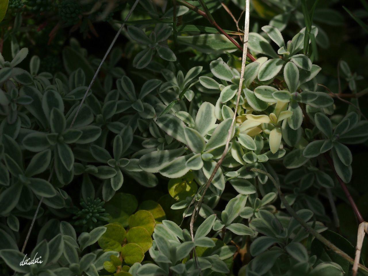 陽も陰も E-PL3 Leaf Sunlight And Shade Noedit