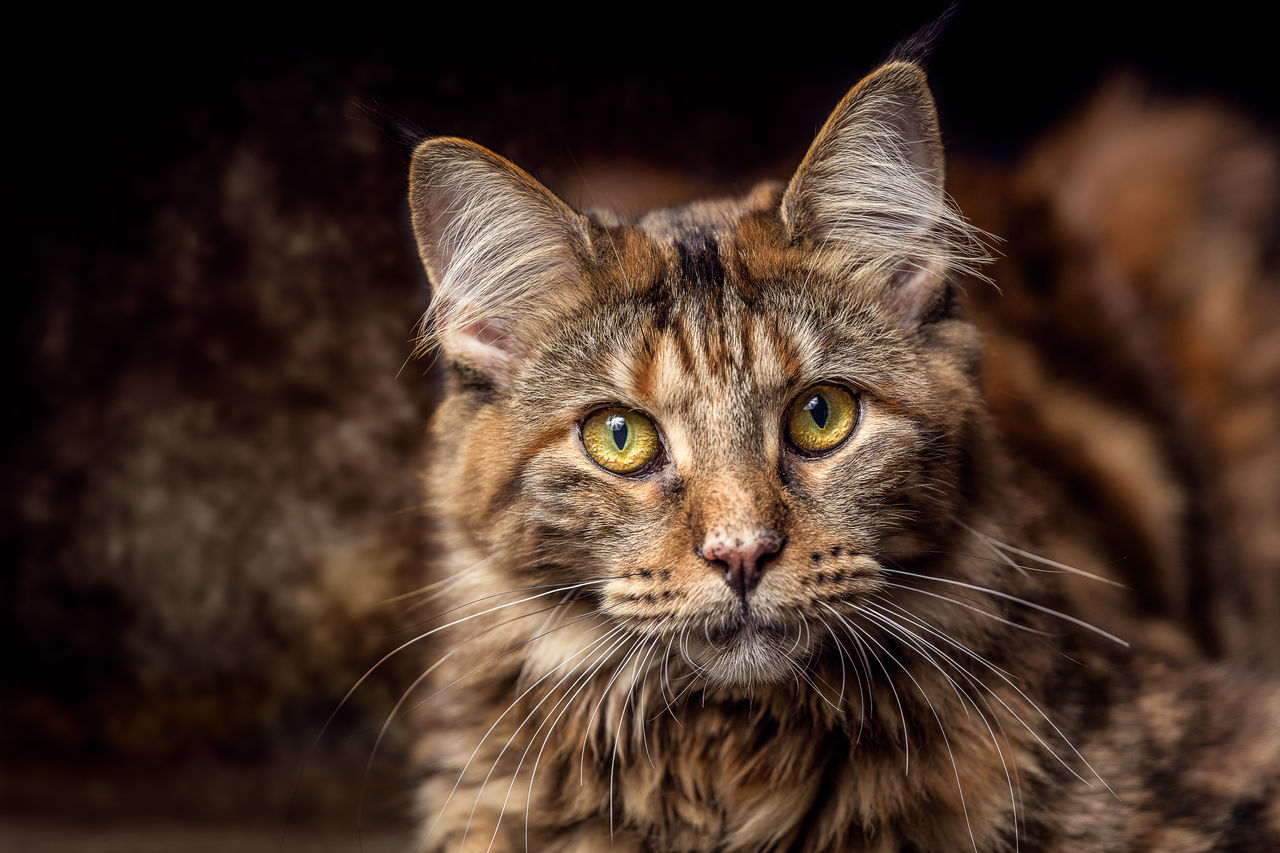 Young female Maine Coon Cat Animal Themes Black Background Close-up Day Domestic Animals Domestic Cat Feline Focus On Foreground Looking At Camera Mammal No People One Animal Outdoors Pets Portrait Whisker