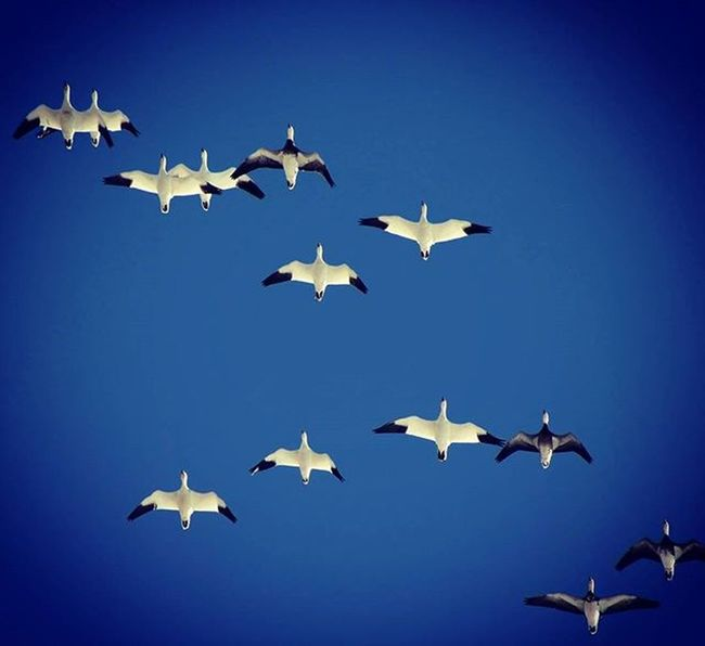 Photo of the day: Seasonal contrasts Latergram Snowgeese Thegreatmigration