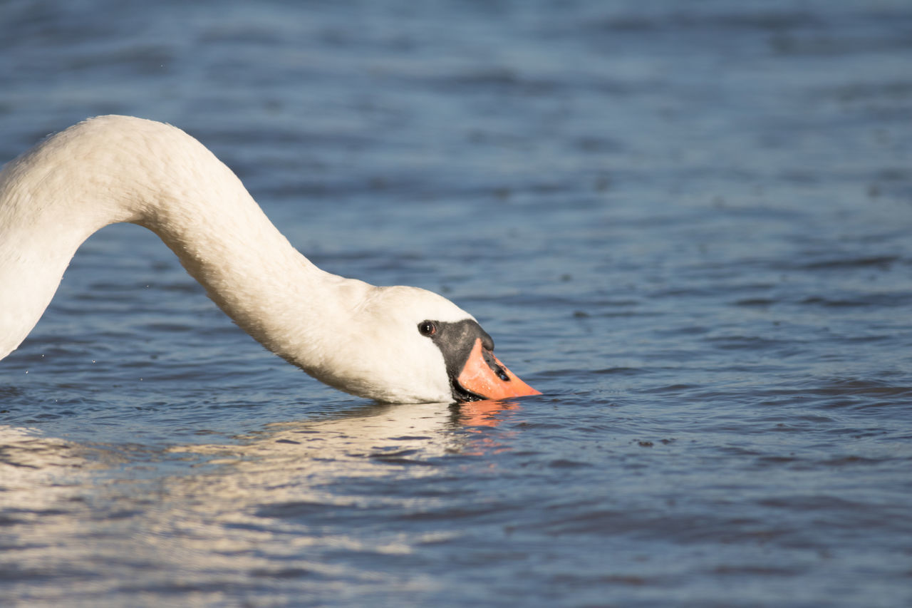 animals in the wild, one animal, swan, animal themes, bird, water, animal wildlife, beak, lake, nature, water bird, swimming, no people, day, close-up, outdoors, beauty in nature