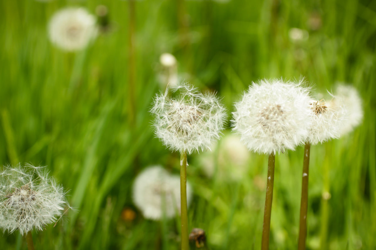 flower, growth, nature, fragility, plant, dandelion, beauty in nature, freshness, white color, focus on foreground, flower head, green color, close-up, botany, day, no people, wildflower, softness, uncultivated, outdoors, grass, field, tranquility, blooming