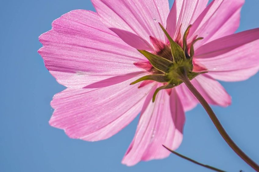 Wildflower in the Sun Flower Petal Pink Color Fragility Flower Head Beauty In Nature Nature Plant Freshness No People Close-up Day Growth Outdoors Cosmos Flower