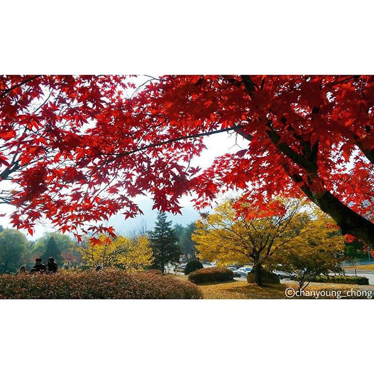 대한민국 현충원 2015  가을 단풍 나무 단풍나무 은행나무 자연 사진 Korea NationalCemetery 2015  Fall Maple Tree MapleTree Ginko Nature Photo