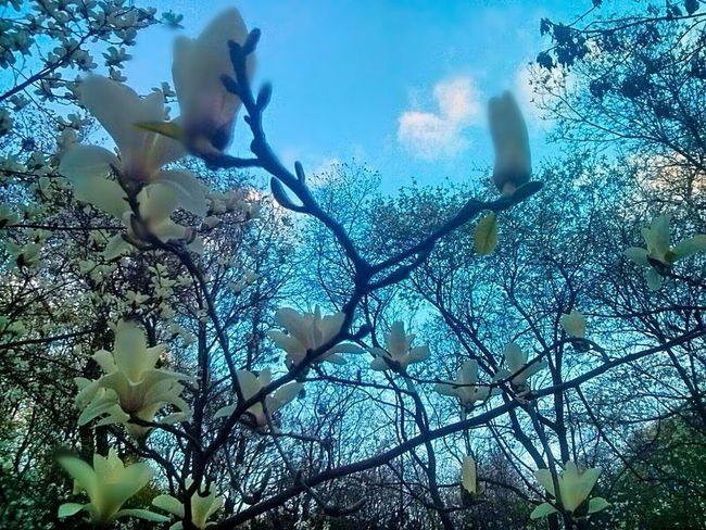 Blossom White Blue Sky Happy Day