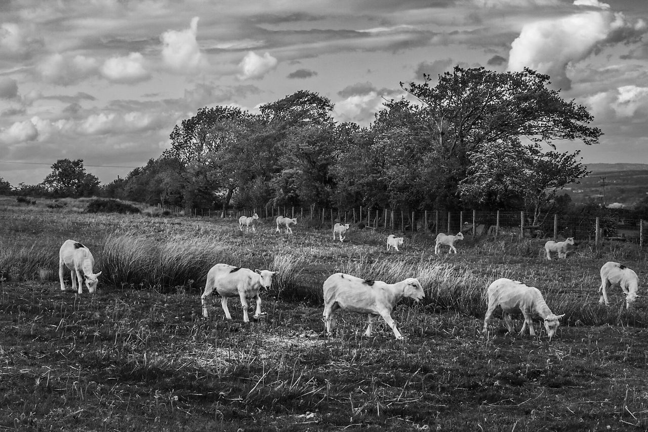 Sheep on the Long Mynd, near Church Stretton, Shropshire, 2015. Animal Themes Arid Climate Bare Tree Blackandwhite Enjoyment Escapism Field Friendship Landscape Livestock Monochrome Nature No People Outdoors Overcast Pasture Sheep Sky Togetherness Tranquility Tree Weather White