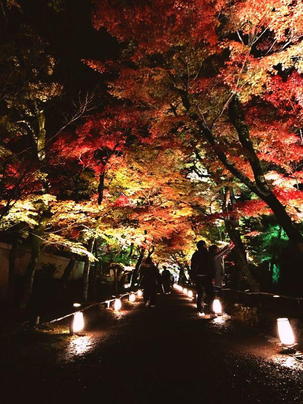 Autumn Autumn Leaves Hogonin Templephotography Kyoto Arashiyama Light Up The Night