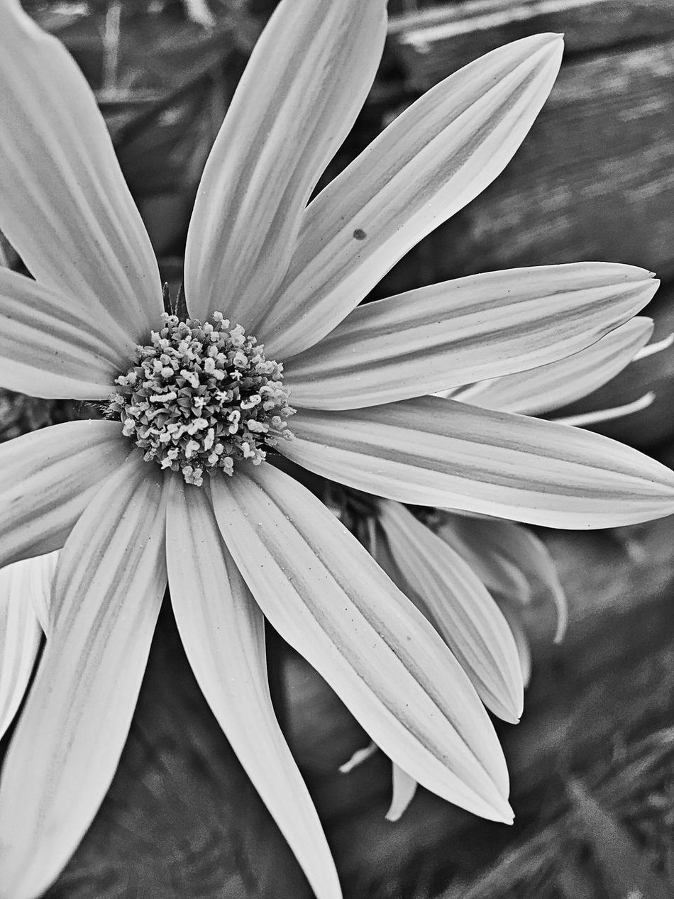 Black And White Wildflower - White Flower Petals Close Up Close Up Nature Close Up Photography Wild Flower Wild Flower Photography Wild Flowers Bloom White Black Black And White Photography Single Flower Wildflower Wildflowers In Bloom Wildflower Photography Flower Close Up Flower Close Up Flowers Close Up Flora White Flower Black And White Black And White Flower Collection Black And White Flowers Flowers Flowers, Nature And Beauty Flowers :) Floral Petals