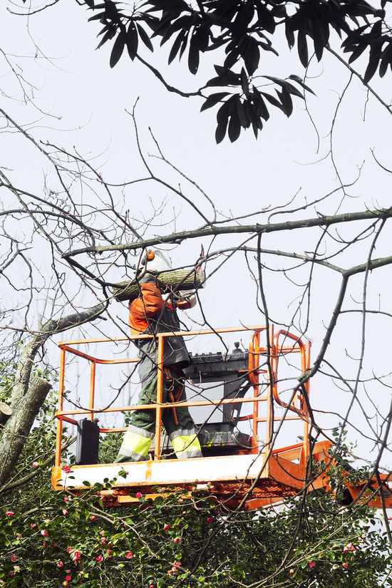 gardener worker pruning trees with safety equipment in crane vehicle Crane Crane - Construction Machinery Gardener Gardener Worker Outdoors Park Park Tree Park Trees Tree Tree Trees Worker In Action Working