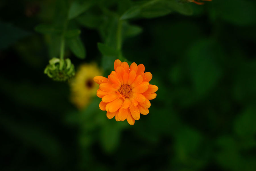 Beauty In Nature Blooming Close-up Day Flower Flower Head Fragility Freshness Growth Nature No People Orange Orange Color Orange Flower Outdoors Petal Plant Ringelblume Zinnia